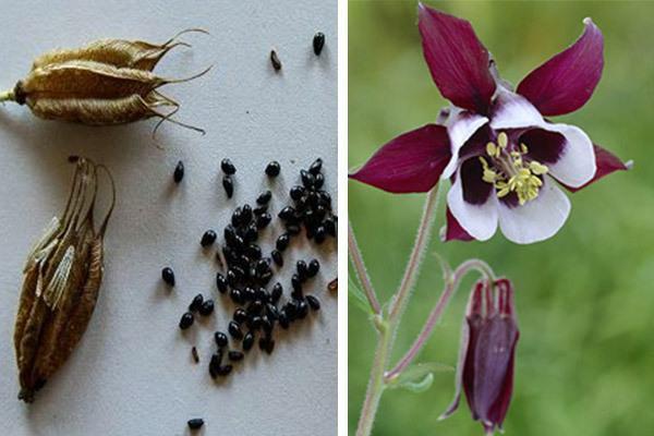 روش نگهداری و کاشت گل زمستانی تاج الملوک