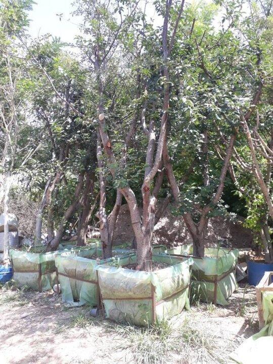 عملیات کاشت 100 اصله درخت روت بال