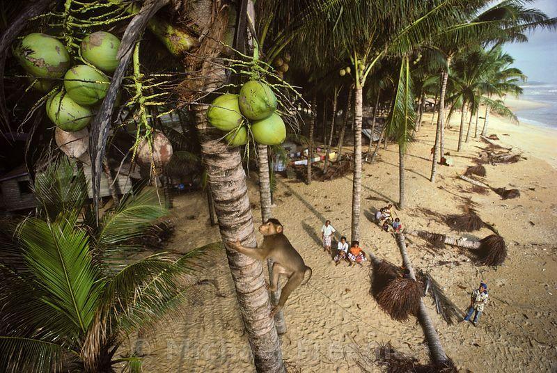 میمون های نارگیل جمع کن تایلند